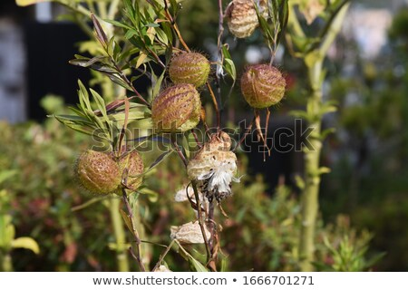 Sauvage weed ballon coton Bush ciel bleu Photo stock © byjenjen