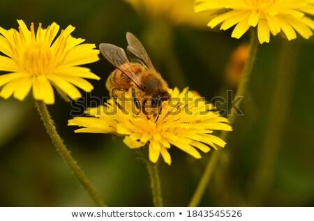 diligent bumblebee stock photo © linfernum
