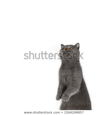 Stock fotó: Gray Cat Looking Curiously On White Background