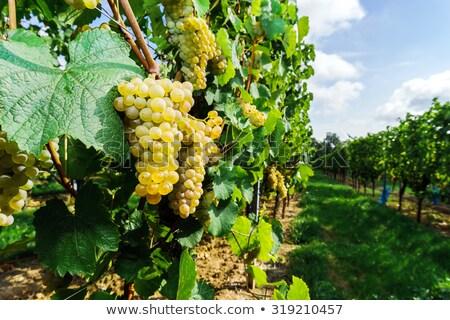 Muscat grapes growing Stock photo © david010167