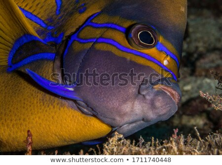 angelfish underwater - pomacanthus annularis Stock photo © Mikko