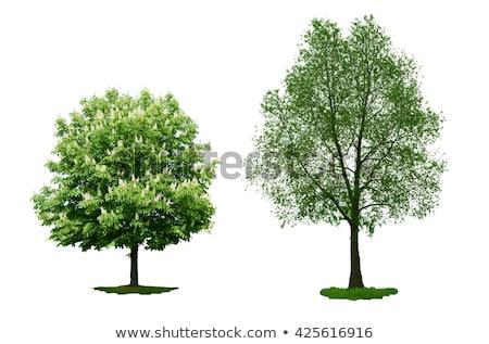 impressionante · folha · verde · reflexões · espelho · isolado · branco - foto stock © zerbor