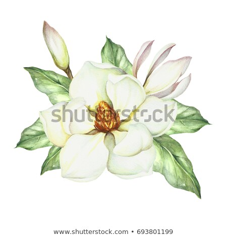 White magnolia blossom Stock photo © snyfer