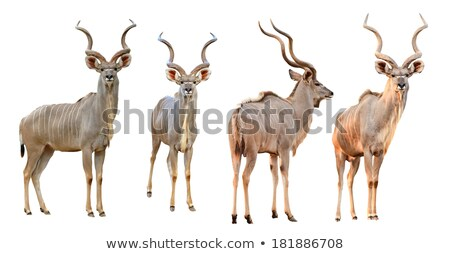collection of male kudu isolated Stock photo © anan