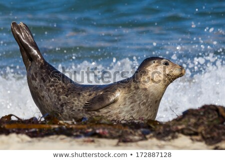 Harbor Seals Sunning on a Rock Stock photo © wildnerdpix