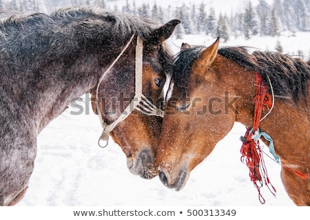 Lovely brown horse eye in winter weather Stock photo © CaptureLight