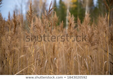 reeds in the shallows Stock photo © Klinker