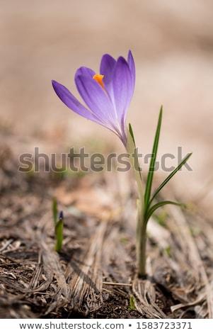 Roxo neve primavera primavera folha jardim Foto stock © Frankljr