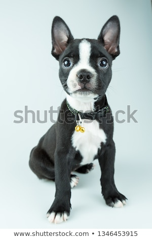 Puppy Boston Terrier portrait in a grey photo studio Stock photo © vauvau
