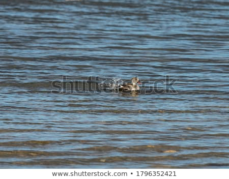 Swimming Cape teal. Stock photo © simoneeman