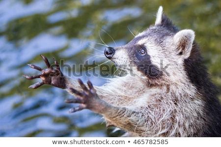 Adult raccoon begging Stock photo © michaklootwijk