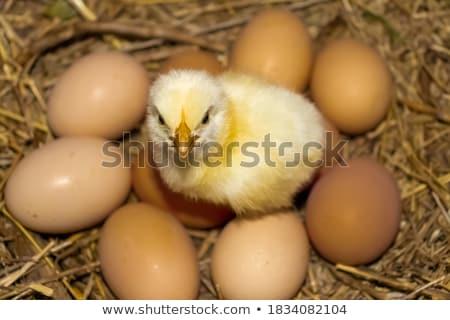 鶏 雛 木材 自然 背景 芸術 ストックフォト © colematt