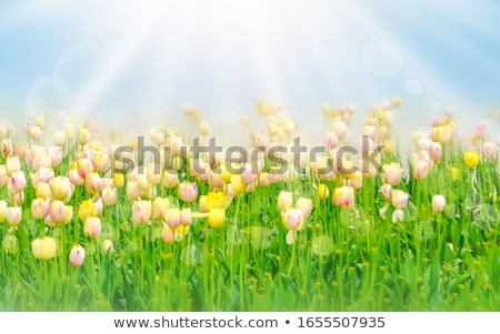 tulipán · mező · virágzik · napfelkelte · tavasz · fesztivál - stock fotó © elenabatkova