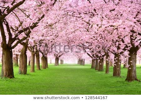 rows of cherry trees stock photo © andreypopov