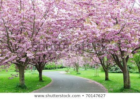 розовый цветения деревья парка дерево пейзаж Сток-фото © manfredxy