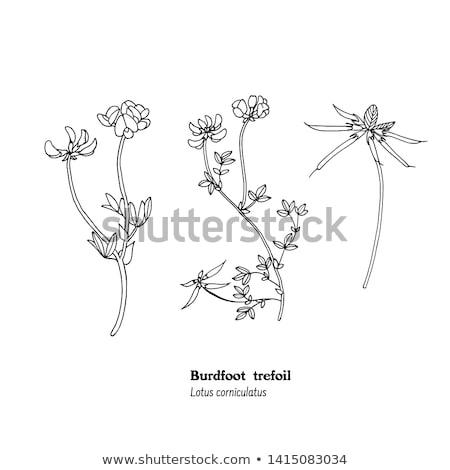 Bird's-foot trefoil (Lotus corniculatus) Stock photo © rbiedermann