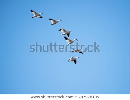 Vándorlás vad libák madár madarak állatok Stock fotó © njaj