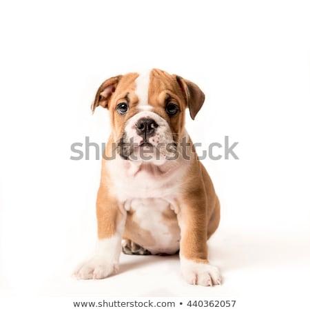 Stockfoto: Engels · bulldog · puppy · geïsoleerd · witte · baby