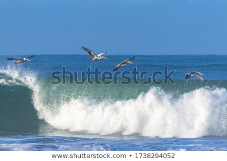 brown pelican Stock photo © alex_grichenko