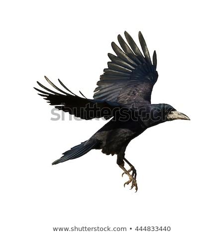 Siyah karga kısa tüy hayvanlar karanlık Stok fotoğraf © taviphoto