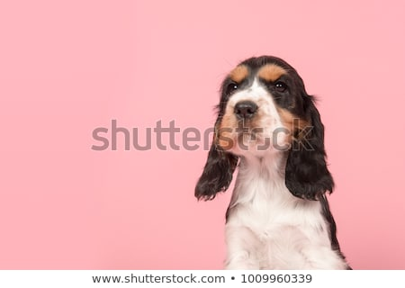 Cute cocker spaniel with copy space Stock photo © ra2studio