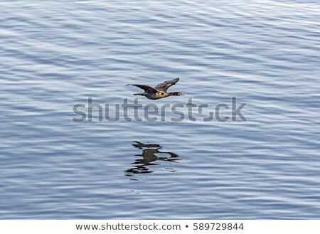 cormoran hunting and flying over the surface of the ocean stock photo © meinzahn