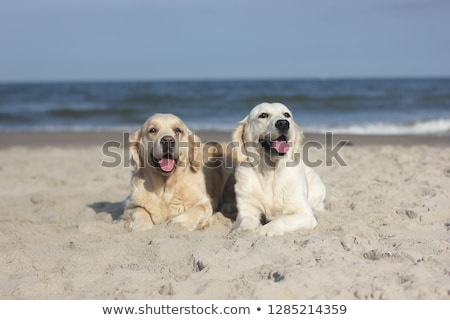 Two golden retrievers Stock photo © remik44992