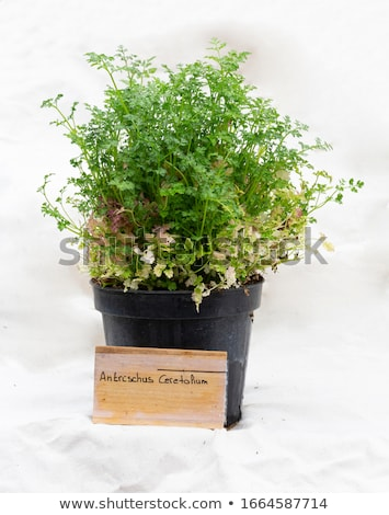 Chervil in the garden with a wooden label Stock photo © Zerbor