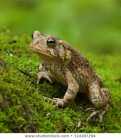 Eastern American Toad (Bufo americanus) stock photo © gabes1976