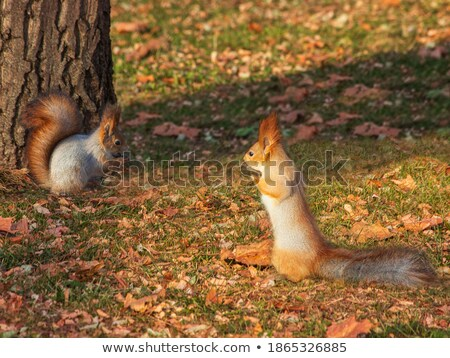 Two squirrels on the grass with autumn leaves Stock photo © Zhukow