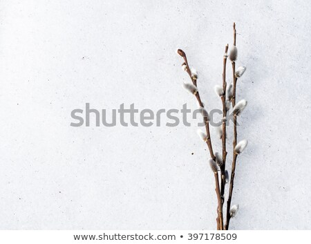 willow branches with buds blossoming Stock photo © ultrapro