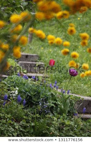 buquê · rosa · holandês · tulipas · branco - foto stock © vladacanon