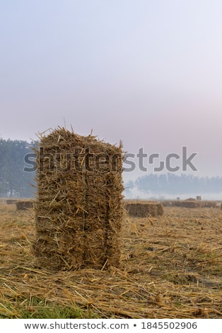 Wheat hay straw bales in field after harvest Stock photo © stevanovicigor