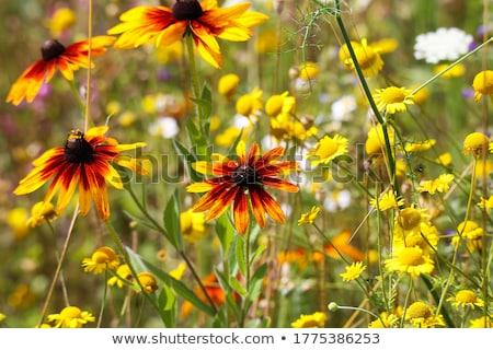 Vadvirág narancs szín illusztráció virág természet Stock fotó © bluering