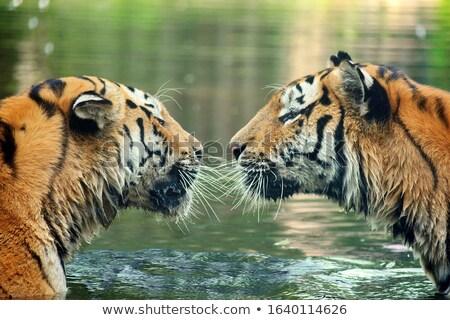два Тигры пруд иллюстрация лес искусства Сток-фото © bluering