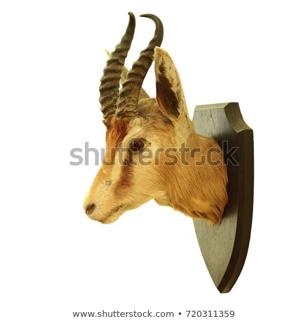 isolated hunting trophy of antidorcas marsupialis stock photo © taviphoto