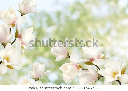 armut · ağaç · beyaz · çiçekler · çiçek · yeşil · bahar - stok fotoğraf © neirfy