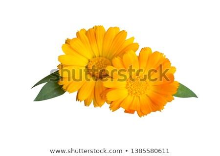 Calendula flower in orange color Stock photo © colematt