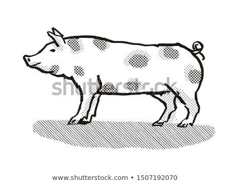 Pietrain Pig Breed Cartoon Retro Drawing Stock photo © patrimonio