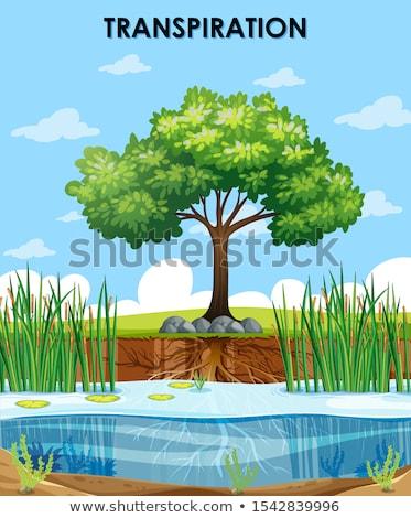 Scene describing transpiration of plants Stock photo © bluering