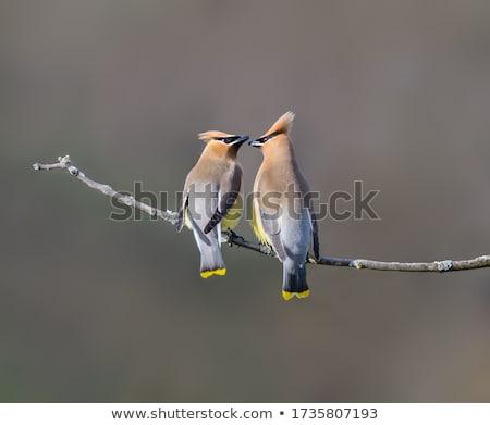 Cedro uccello piuma uccelli pittura animale Foto d'archivio © shawlinmohd