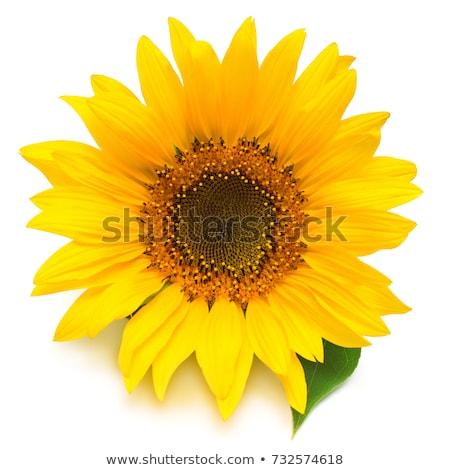 Słonecznika niebo wiosną trawy charakter krajobraz Zdjęcia stock © Archipoch