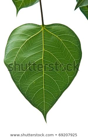 wood bodhi or peepal leaf stock photo © witthaya
