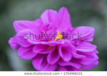 Stockfoto: Dahlia · mooie · oranje · Geel · bloem