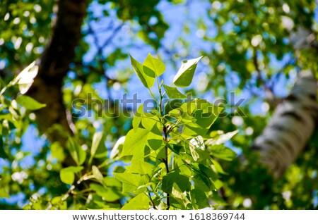 güzel · bahar · huş · ağacı · taze · yeşil · yaprakları · doğa - stok fotoğraf © kotenko