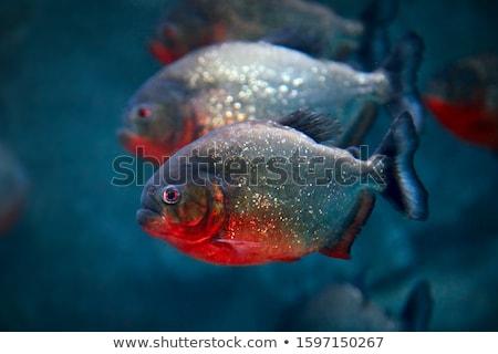 Piranha assustador olhando direito água floresta Foto stock © ArenaCreative