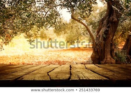 Olive trees garden in autumn Stock photo © Anna_Om