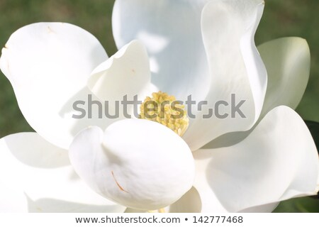 Magnolia flower opened - elegant flower Stock photo © ifeelstock