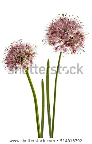 Frühlingszwiebeln · Blume · Zwiebel · andere · Blumen · Textur - stock foto © devon
