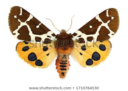 Garden tiger moth (Arctia caja) Stock photo © rbiedermann